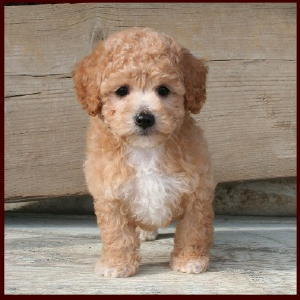 Bichon Poodle Puppies for Sale|Poochon|Dog Breeders|Iowa