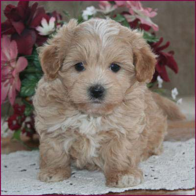 Best Non Shedding Mixed Breed Dogs
