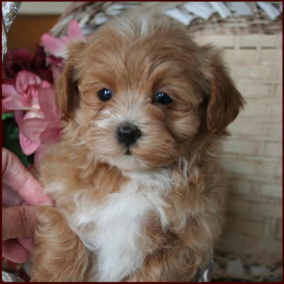 Maltipoo Puppies All Sold Apricot White Hypoallergenic Non Shed Toy ...
