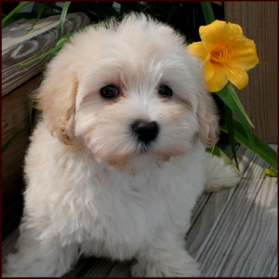 Go Back > Pix For > Maltese Poodle Puppies Mix