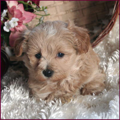 What are the Maltipoo dogs like?