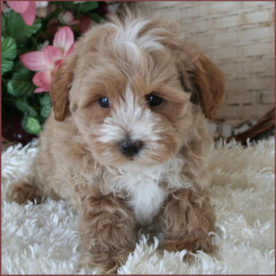Eukanuba Puppy Food >> Maltipoo Puppy 4 Sale| Maltepoo| Maltese Poodle Puppies | Iowa
