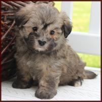 maltipoo puppy available