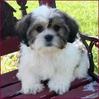 Shichon Puppies for Sale|Daisy Dog|Shihtzu Mixed Breed Puppy