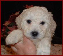 Bichon Poo Puppies