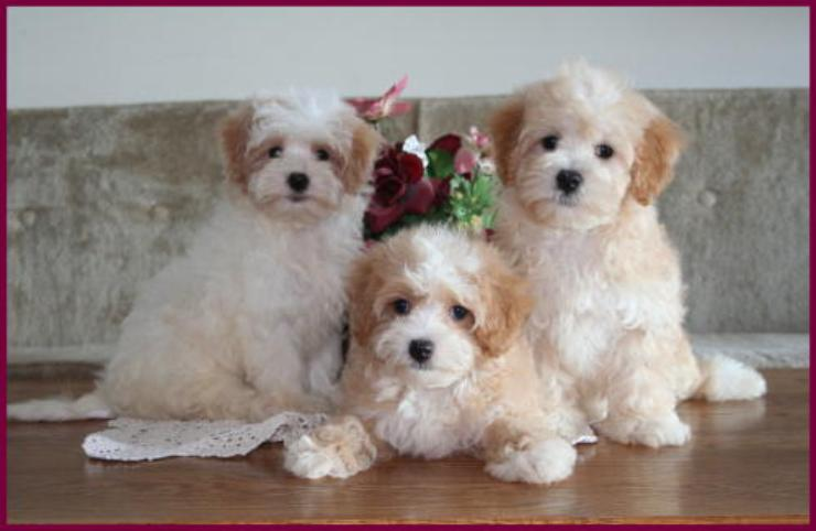 Maltipoo Puppies for Sale Maltese Toy Poodle Mixed Breed